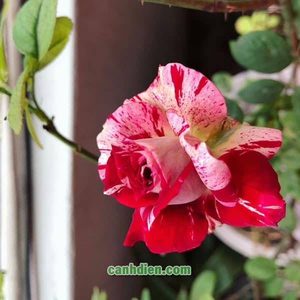 Hoa Hồng Julio Rose