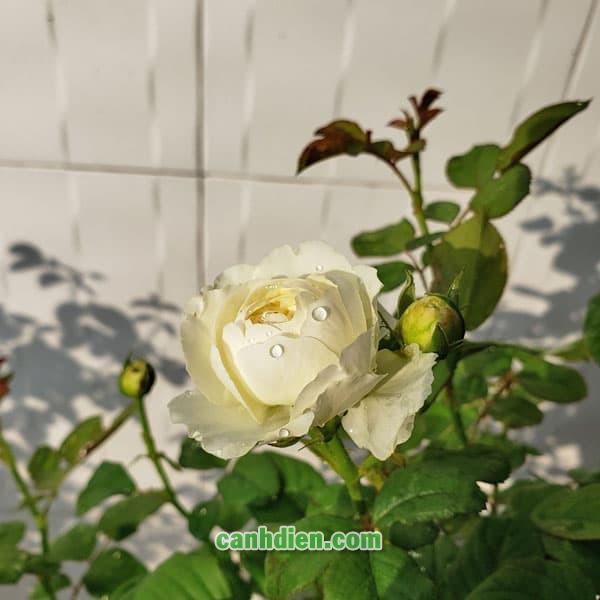 Hoa Hồng Keira Rose
