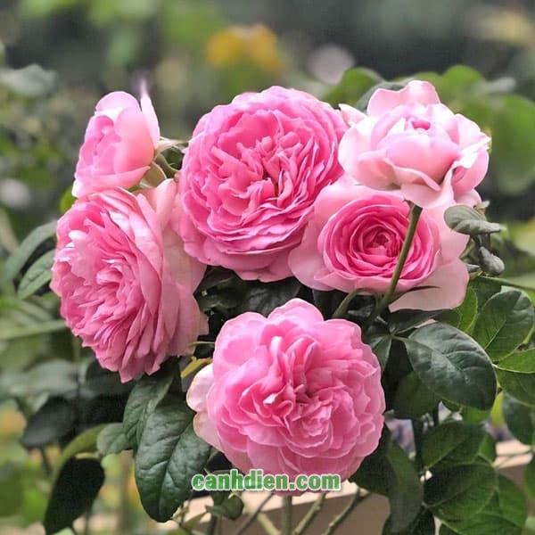 Hoa Hồng Mon Coeur Rose
