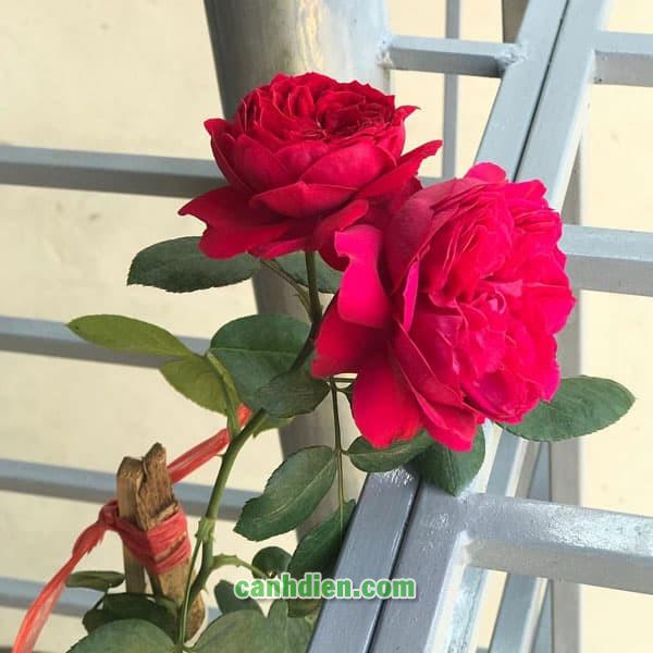 Hoa Hồng Red Eden Rose