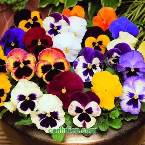Hoa Viola