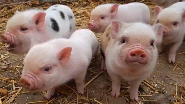 Lịch Tiêm Phòng Cho Lợn Con