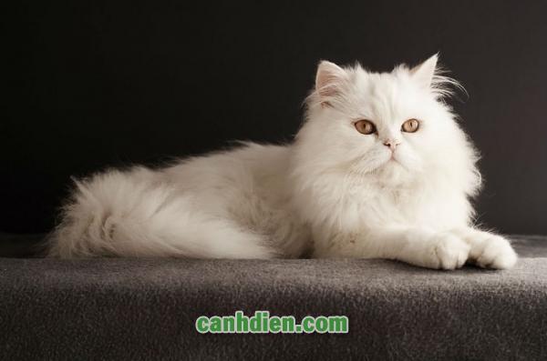 Mèo BA Tư Giá Bao Nhiêu
