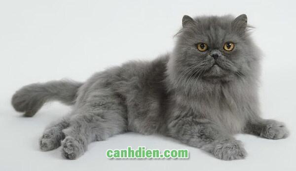 Mèo BA Tư Lông Dài Mặt Tịt (persian)