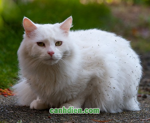 Mèo Turkish Van Giá Bao Nhiêu