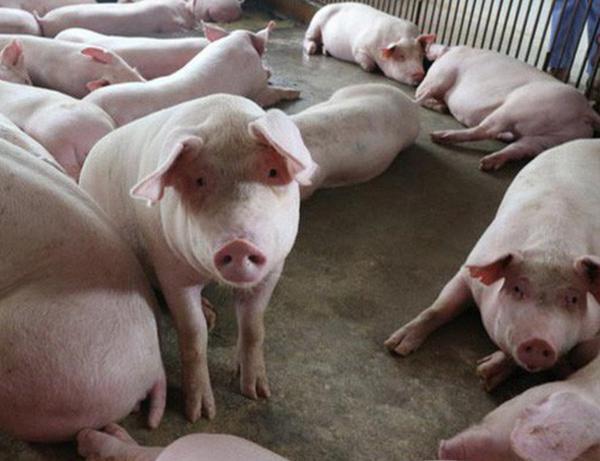 Phòng Và Trị Bệnh Dịch Tả Lợn
