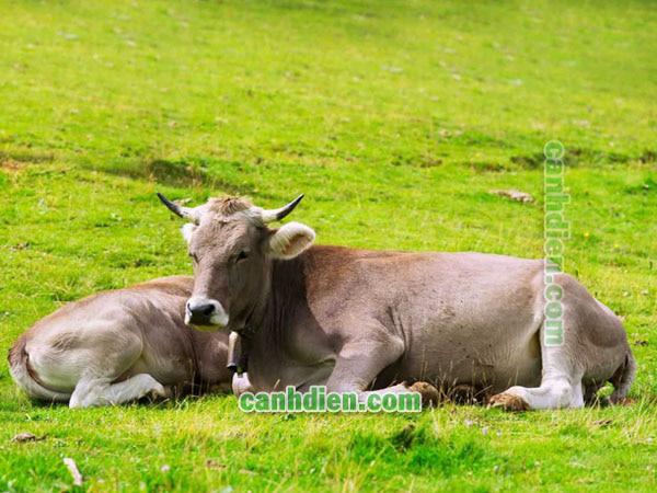 Tập tính sinh học của trâu bò