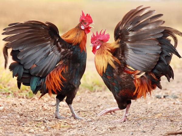 Tập tính sinh sống của gà