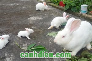 Thức Ăn Cho Thỏ Sinh Sản