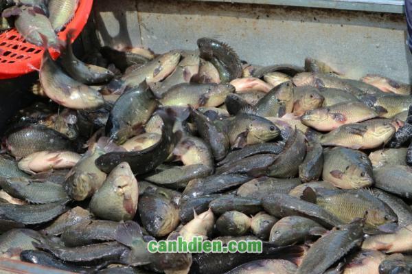 Thức Ăn Của Cá Rô Phi