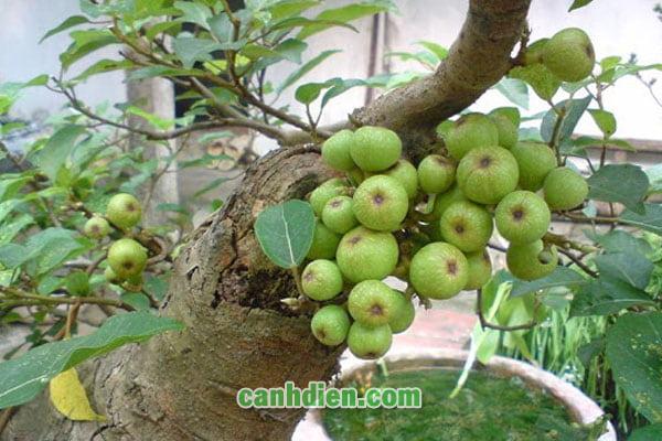 Tìm hiểu cây vả