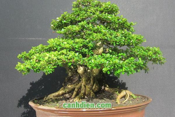 Tìm hiểu về cây bùm sụm
