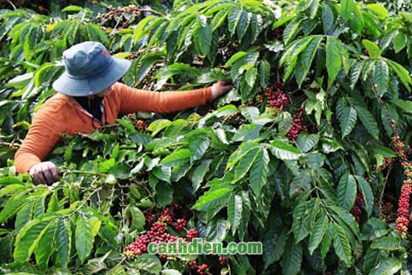 Tìm hiểu về cây cà phê