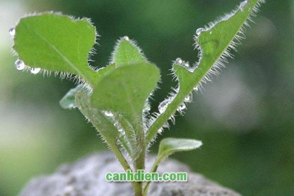 Tìm hiểu về cây cải đất