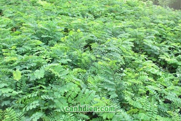 Tìm hiểu về cây cẩm lai
