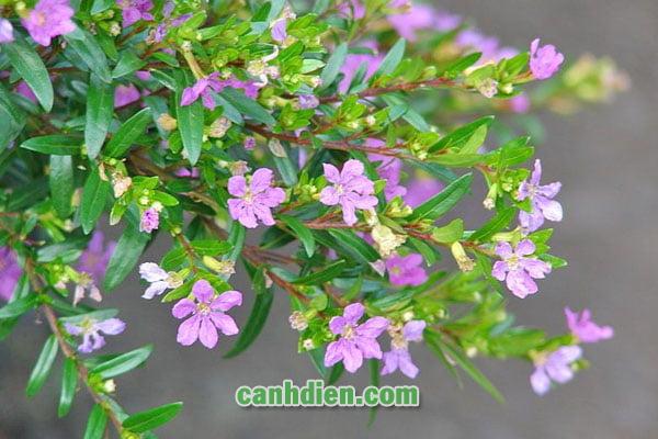 Tìm hiểu về cây cẩm tú mai