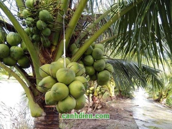 Tìm hiểu về cây dừa