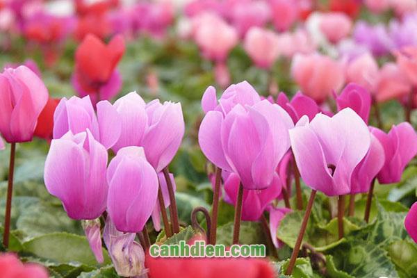 TÌm hiểu về cây hoa anh thảo