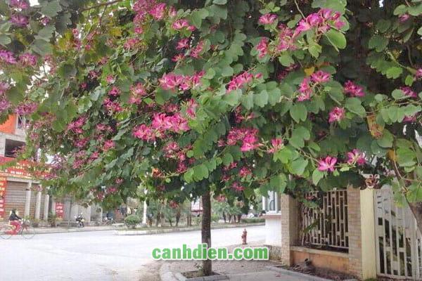 Tìm hiểu về cây hoa ban đỏ