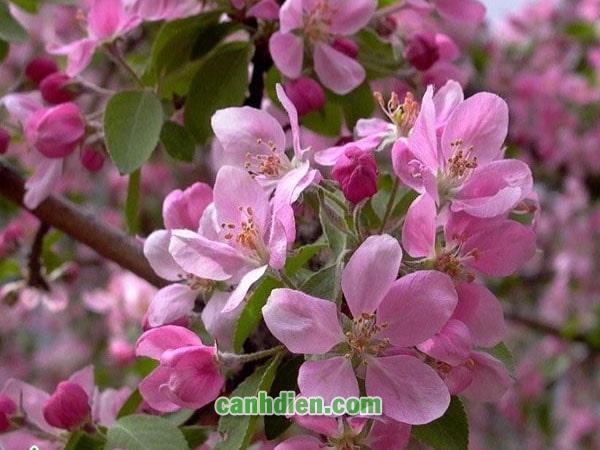 Tìm hiểu về cây hoa đào