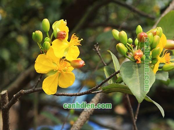 Tìm hiểu về cây hoa mai tứ quý