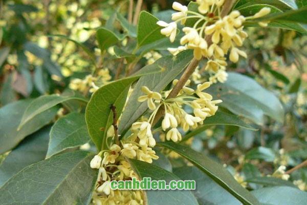 Tìm hiểu về cây hoa mộc hương