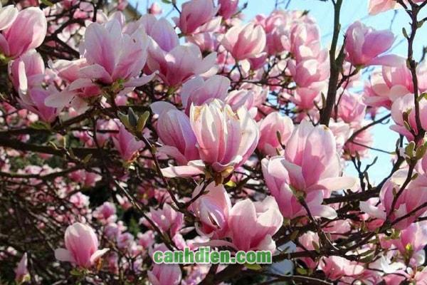 Tìm hiểu về cây hoa mộc lan