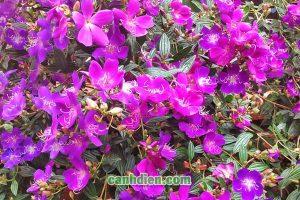 Tìm hiểu về cây hoa mua