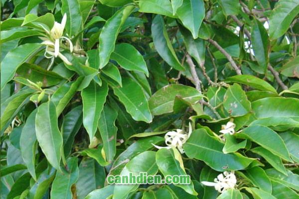 Tìm hiểu về cây hoa ngọc lan
