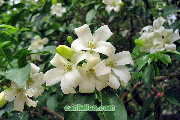 Tìm hiểu về cây Hoa Nhài