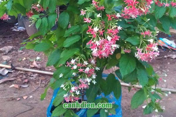 Tìm hiểu về cây hoa Sử Quân Tử
