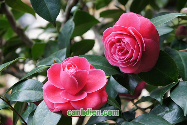 Tìm hiểu về cây hoa trà