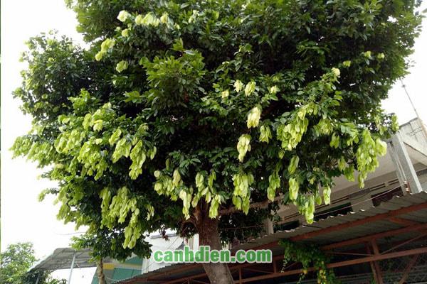 Tìm hiểu về cây lá lụa