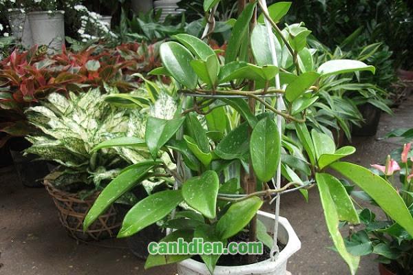 Tìm hiểu về cây cẩm cù