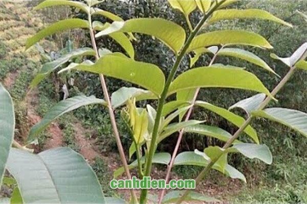 Tìm hiểu về cây mắc khén