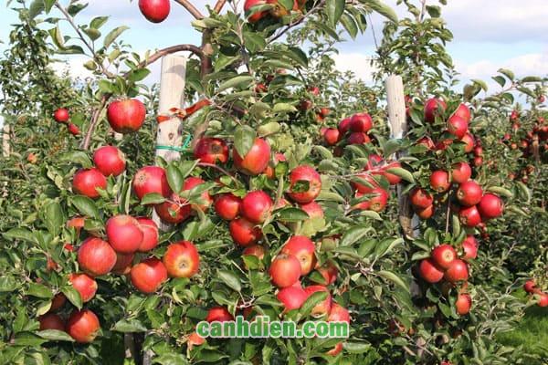 Tìm hiểu về cây táo tàu