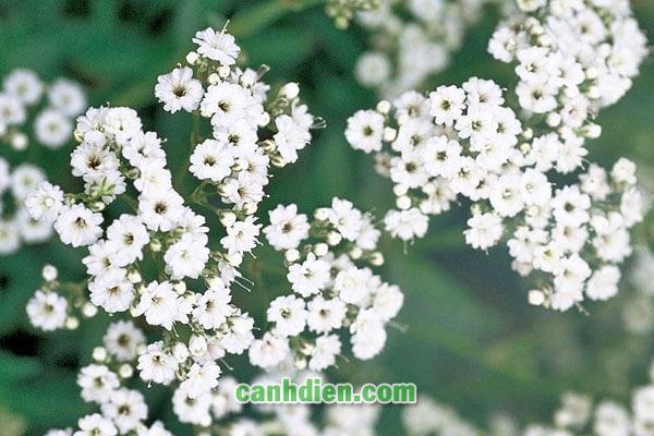 Tìm hiểu về hoa baby -Hoa chấm bi