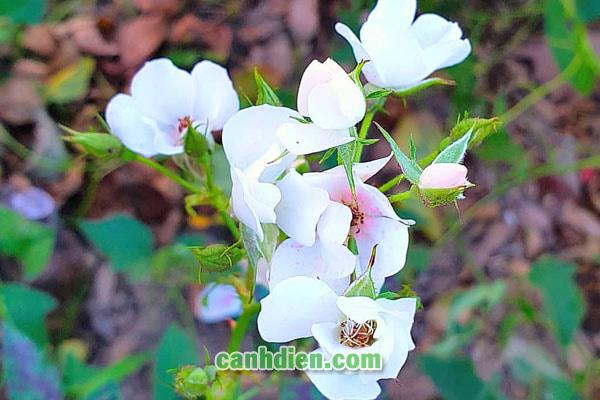 Tìm hiểu về cây hoa tường vi