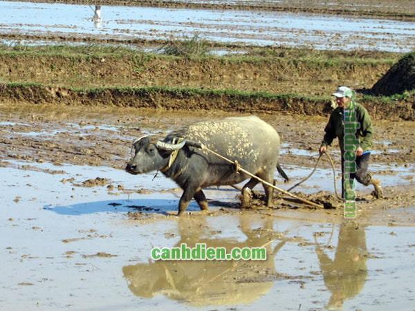 Trâu bò cung cấp sức kéo cho nông nghiệp