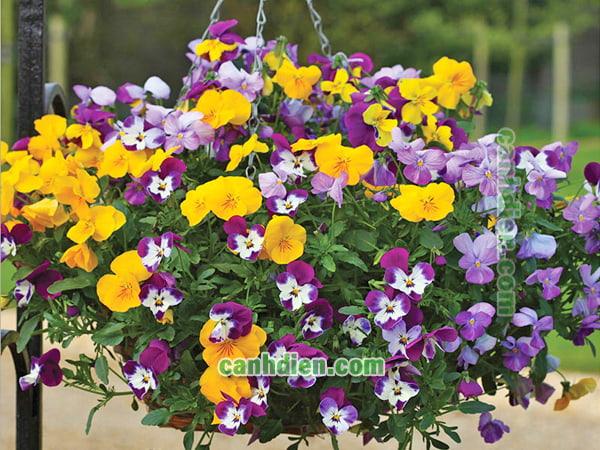Trồng cây hoa păng xê