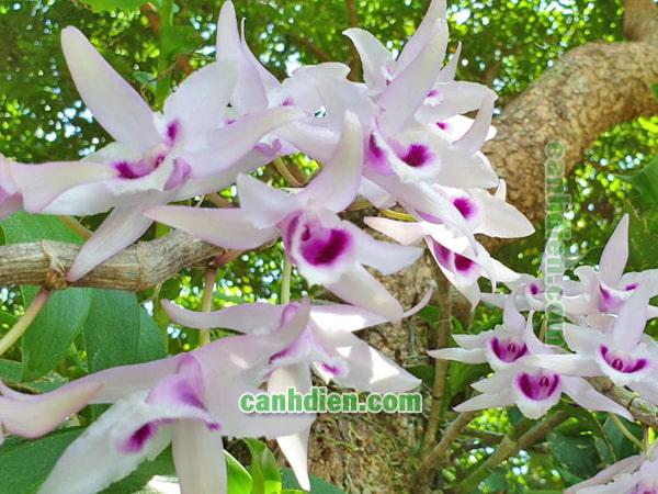 Ý nghĩa của cây hoa lan phi điệp tím